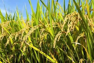 بررسی افزایش تولید برنج در«رویش»